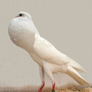 Birds of a Feather: Genetic Classification Reveals Pigeons' Exceptional Diversity [Slide Show]