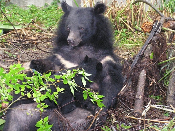 130 Asian Black Bears Held in China for Bile Extraction Are Set to Be Rescued