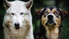 New Clues about the Evolution of Dogs