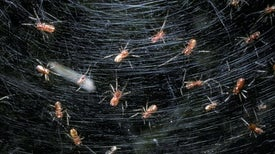 Parasitic Wasp Larvae Force Young Social Spiders into Deadly Hermitage