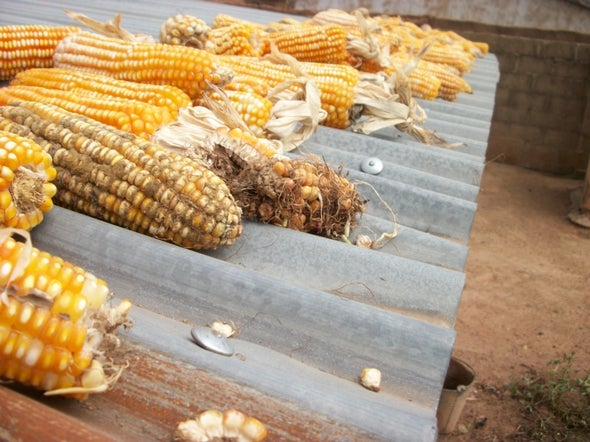 Fungus Used to Quash Cancer-Causing Toxin