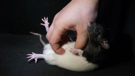 Rats Enjoy Being Tickled--When They're in the Right Mood [Video]