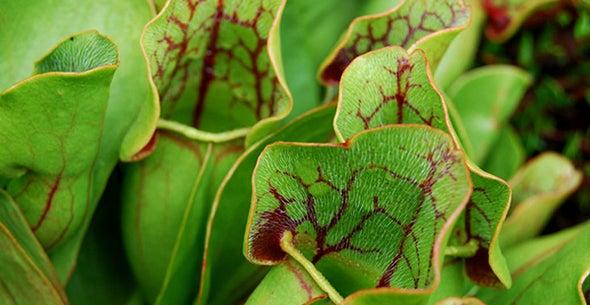 Pitcher Plant Captures Prey in Batches