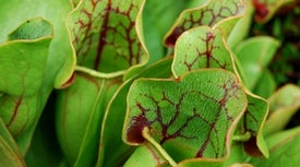 Pitcher Plant Captures Prey in Batches