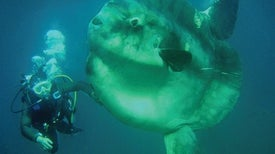 World's Heaviest Bony Fish Was Misidentified