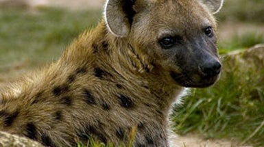Smelly Microbes Help Hyenas to Communicate with One Another