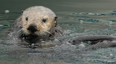 City Sea Otters Live Better Than Their Country Cousins [Slide Show]