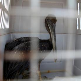 How Did the BP Oil Spill Affect Gulf Coast Wildlife? [Slide Show]