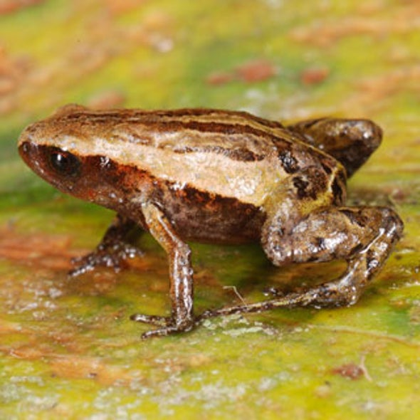 Meet the Smallest Frog in the Andes