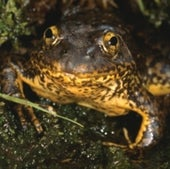 Mountain Yellow-Legged Frog: