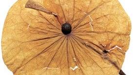Seeds of the Amazon