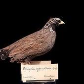 The Himalayan quail