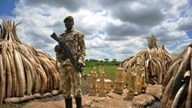 Why Kenya Is Burning 100 Tons of Elephant Ivory