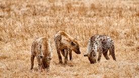 Bromances Could Lead to More Romances for Male Hyenas