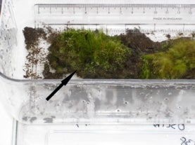 image of moss growing next to a ruler, with an arrow pointing at new green growth emerging from older, darker, muddier moss