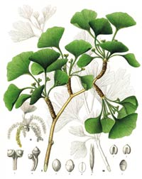 The Lowdown on Ginkgo Biloba