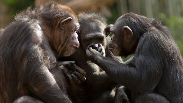 "Mysterious Chimpanzee Behavior May Be Evidence of ""Sacred"" Rituals"