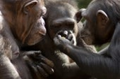 Mysterious Chimpanzee Behavior May Be Evidence of