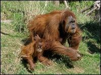 Orangutans Play Charades When Misunderstood