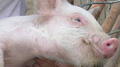 A New Strain of Drug-Resistant Staph Infection Found in U.S. Pigs