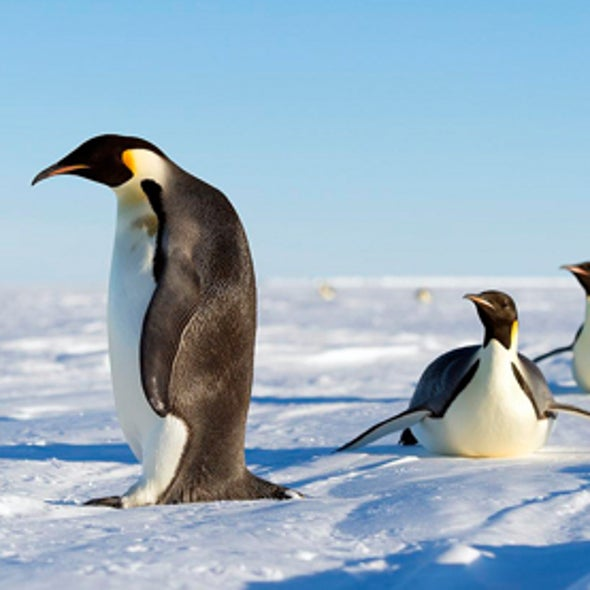 How the Emperor Penguin Adapts to a Fast-Warming Antarctic