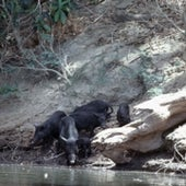 FERAL PIGS: