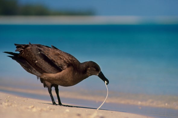Plastic Garbage Chemical Attracts Hungry Seabirds