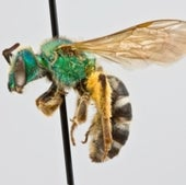 03. Sweat Bees