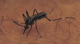 Mosquitoes Learn the Smell of Danger