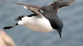 Why Penguins Cannot Fly