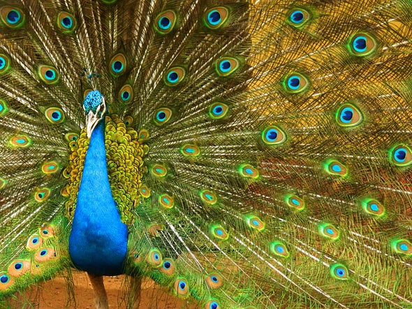 Colorful Peacocks Impress Females with Good Vibes