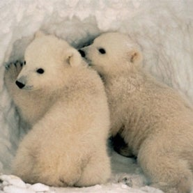 polar bear climate change endangered species greenhouse emissions