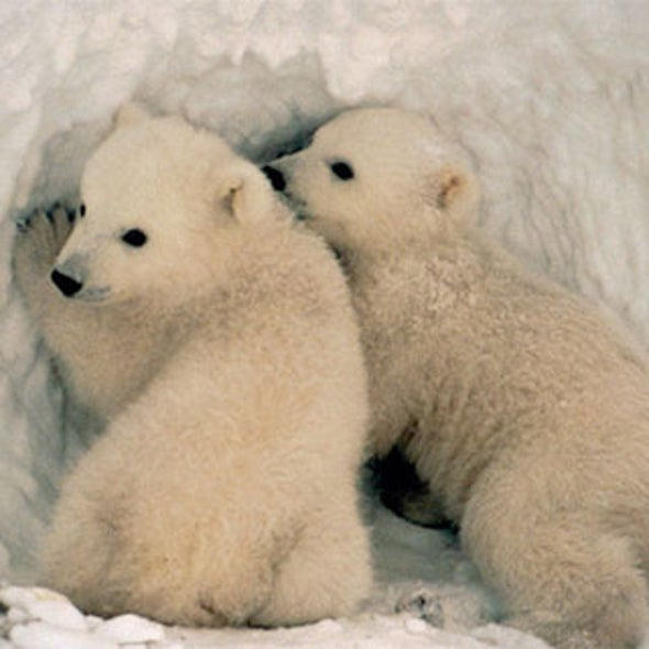 Should the Endangered Polar Bear Prompt Action on Climate Change?