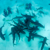 CARIBBEAN REEF SHARKS: