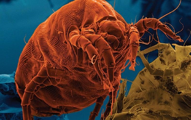 Go West, Allergy Sufferers: Dust Mites Avoid Arid America