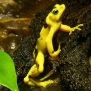 Is the Frog-Killing Chytrid Fungus Fueled by Climate Fluctuations?