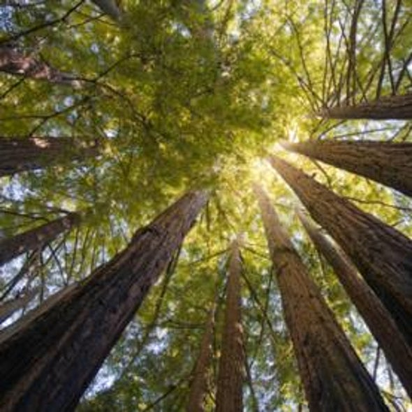 Clearing and Present Danger? Fog That Nourishes California Redwoods Is Declining