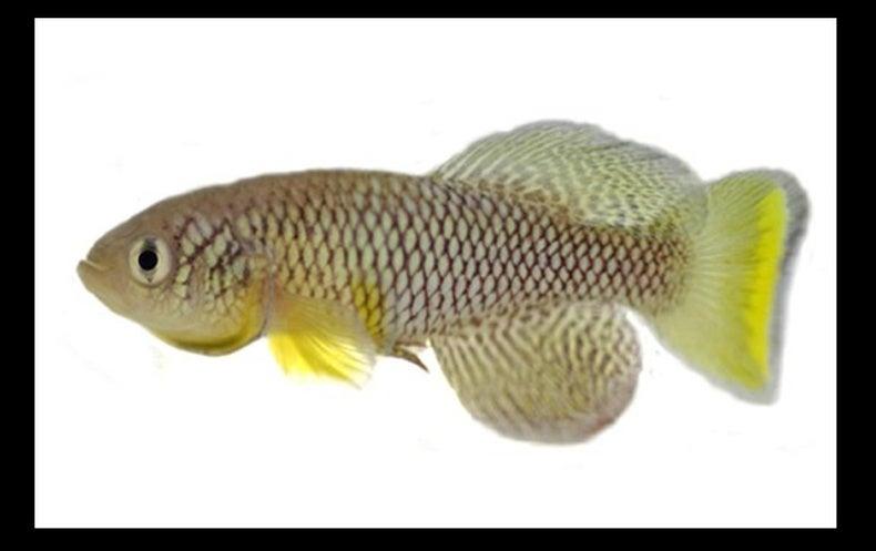 Youthful Poo Makes Aged Fish Live Longer