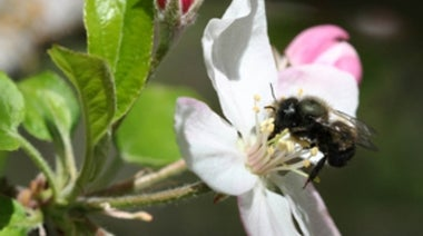 Plan Bee: As Honeybees Die Out, Will Other Species Take Their Place?