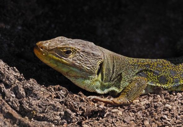 How Lizards Get Their Spots