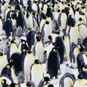 Fossil Finds Trace the History of Penguins