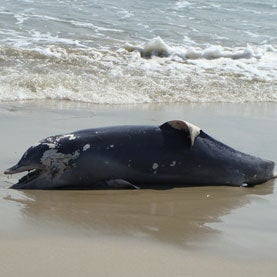 beached dolphin