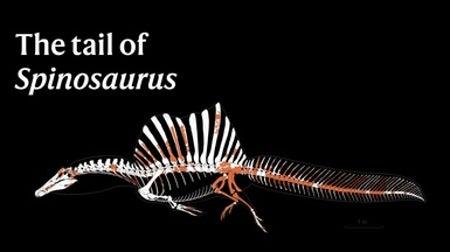 A swimming dinosaur: The tail of Spinosaurus