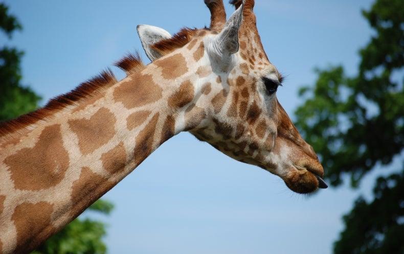 Genome Reveals Why Giraffes Have Long Necks