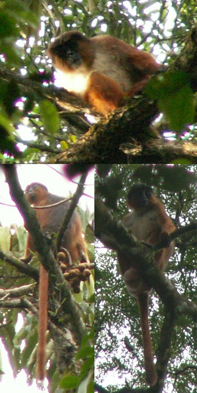 Palm Oil Plantations Threaten African Primates - Scientific