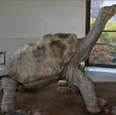 Lonesome George on view: