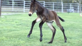 Equine Cloning Hurdles Cleared, Birth of Copied Mule Suggests