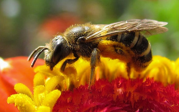 Bee Symbiosis Reveals Life's Deepest Partnerships: Q&A