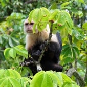 COWARDLY CAPUCHINS: