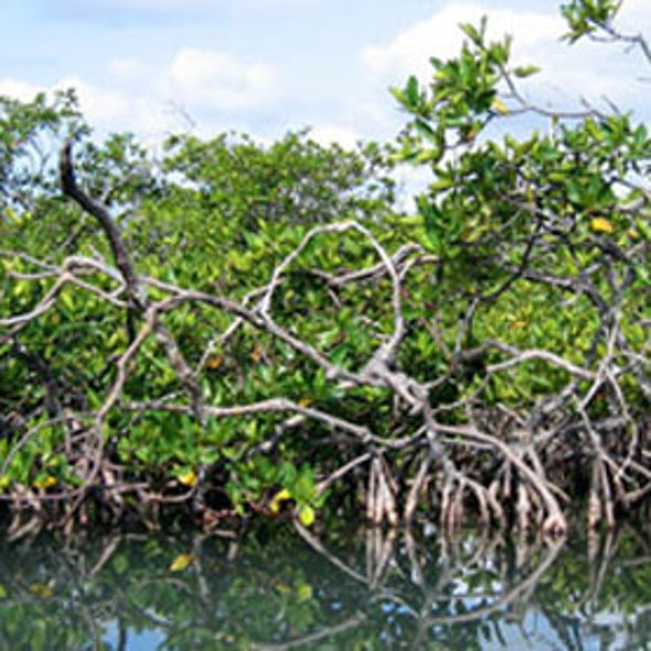 Restoring Mangroves May Prove Cheap Way to Cool Climate